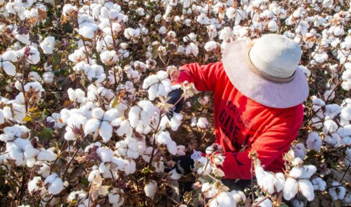 Coercive Labor in Xinjiang: Labor Transfer and the Mobilization of Ethnic Minorities to Pick Cotton